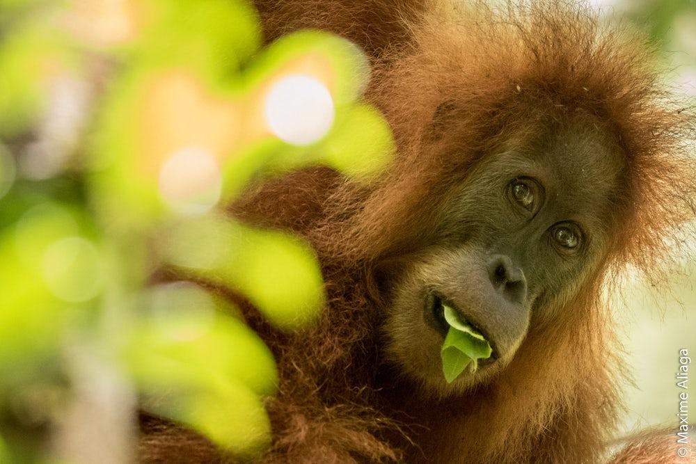 tapanuli-orangutan-3