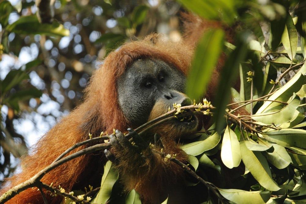 tapanuli-orangutan-4