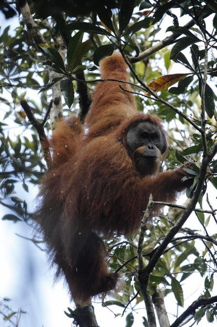 tapanuli-orangutan-5