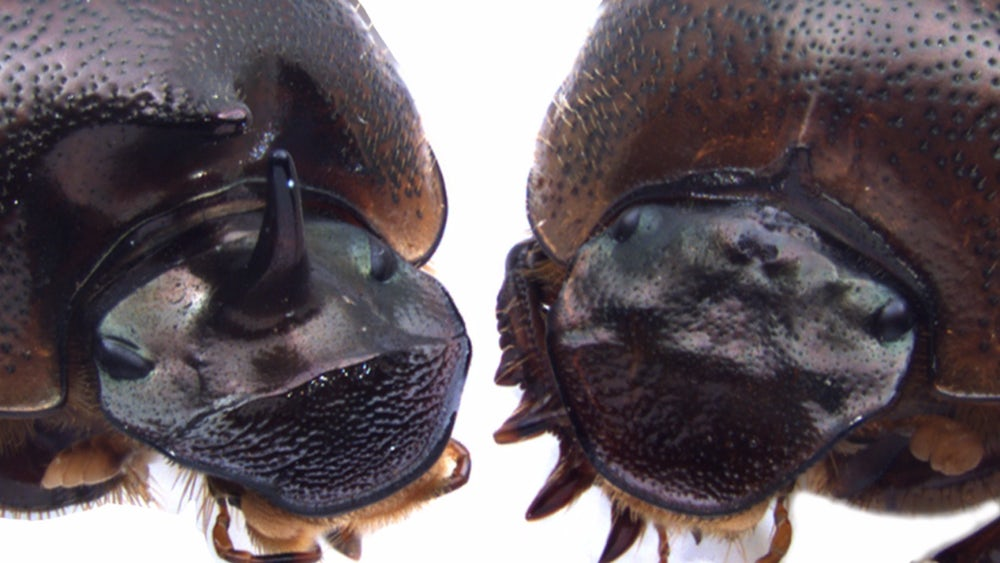 three-eyed-beetle-2
