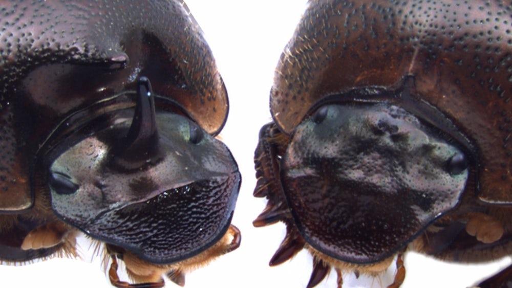three-eyed-beetle-2