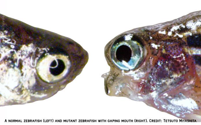 Ученые произвели необычную мутацию рыбок данио-рерио